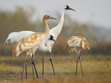 Whooping Crane Parents with Twin Chicks at Wintering Grounds Photographic Print by Klaus Nigge