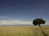 A Lone Euphorbia Tree in a Vast Grassland Valokuvavedos tekijänä Beverly Joubert