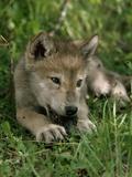 A Female Gray Wolf Pup in Mottled Light 写真プリント : ジム・アンド・ジェイミー・ダッチャー