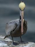 A Portrait of a Brown Pelican, Pelecanus Occidentalis Stampa fotografica di Tim Laman