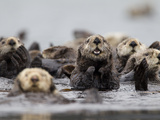 A Group of Northern Sea Otters, Enhydra Lutris Kenyoni Fotografisk tryk af Roy Toft