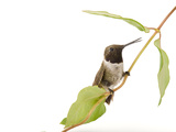 A Black-Chinned Hummingbird, Archilochus Alexandri Photographic Print by Joel Sartore