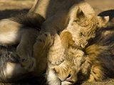 Lion and Cub, Panthera Leo, Socializing in their Enclosure Stampa fotografica di Paul Sutherland