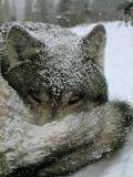 A Sleeping Alpha Male Gray Wolf in Falling Snow Opspændt lærredstryk af Jim And Jamie Dutcher