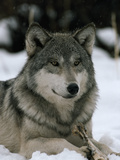 An Alpha Male Gray Wolf of the Sawtooth Pack with a Bone 写真プリント : ジム・アンド・ジェイミー・ダッチャー