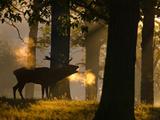 A Red Deer Male, Cervus Elaphus, Bellows on a Cold Autumn Morning Fotografisk tryk af Alex Saberi