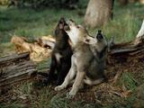 Three Young Male Gray Wolf Pups Howl Premium-Fotodruck von Jim And Jamie Dutcher