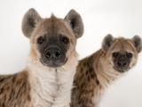Spotted Hyenas, Crocuta Crocuta, at the Sunset Zoo Fotografisk tryk af Joel Sartore