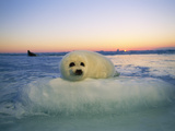 """A Baby Harp Seal Rests on a """"Pillow"""" of Ice Fotografisk tryk af Brian J. Skerry"""
