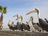 Peruvian Pelicans Sitting on a Seawall at the Beach Fotografisk tryk af Mike Theiss