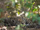 Jaguar, Panthera Onca, Resting in Shade Stampa fotografica di Roy Toft