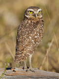 Burrowing Owl, Athene Cunicularia, Perched on a Log Stampa fotografica di Roy Toft