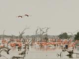 A Group of Caribbean Flamingos Among Dead Mangrove Trees Stampa fotografica di Klaus Nigge