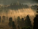 Sunlight Streaming Through Juniper Trees at Dawn Impressão fotográfica por Norbert Rosing