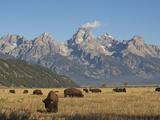 Bison Grazing in the Grasslands Below the Teton Range Fotografisk tryk af Bob Smith