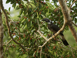 Bushy-Crested Hornbill, Anorrhinus Galeritus, in a Strangler Fig Tree Reproduction photographique par Tim Laman