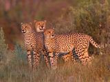 Three Cheetahs, Acinonyx Jubatus, Standing Alert in the Tall Grass Fotografisk trykk av Roy Toft
