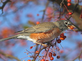 An American Robin, Turdus Migratorius, Eating Crab Apples in a Tree Reproduction photographique par George Grall