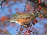 An American Robin, Turdus Migratorius, Eating Crab Apples in a Tree Stampa fotografica di George Grall