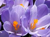 Close Up of Purple Crocus Flowers with Orange Pistil and Stamens Impressão fotográfica por Darlyne A. Murawski