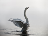 A Mute Swan, Cygnus Olor, Stretching its Wings in the Morning Mist Stampa fotografica di Alex Saberi