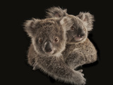Joeys Cling to Each Other before Being Placed with Human Caregivers Fotografisk tryk af Joel Sartore