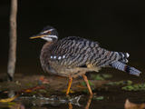 Portrait of Sunbittern, Eurypyga Helias Reproduction photographique par Roy Toft