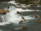 Many Brown Bears Congregated to Feed on Salmon Fotografie-Druck von Barrett Hedges