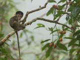 Baby Long-Tailed Macaque, Macaca Fascicularis, in a Strangler Fig Fotografisk tryk af Tim Laman