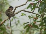 Baby Long-Tailed Macaque, Macaca Fascicularis, in a Strangler Fig Stampa fotografica di Tim Laman