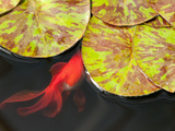 Star of Siam Water Lily Leaves, Nymphaea Species, and Goldfish Reproduction photographique par Darlyne A. Murawski