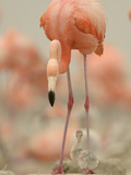 A Caribbean Flamingo with Chick in a Breeding Colony Fotografisk tryk af Klaus Nigge
