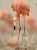 A Caribbean Flamingo with Chick in a Breeding Colony Fotografie-Druck von Klaus Nigge