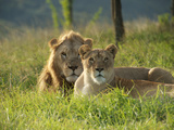 A Male and Female Lion Rest in the Grass Photographic Print by Mauricio Handler