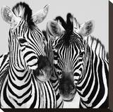 Namibia Zebras Opspændt lærredstryk af Nina Papiorek