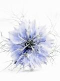 A Black Cumin Flower Fotografie-Druck von Barbara Lutterbeck