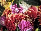 Mixed Dahlias Fotografisk tryk af Marc O. Finley