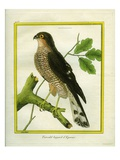 Sparrowhawk Reproduction procédé giclée par Georges-Louis Buffon