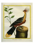 Kalij Pheasant Reproduction procédé giclée par Georges-Louis Buffon