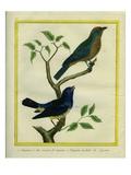 Western Tanager Et Spotted Tanager Reproduction procédé giclée par Georges-Louis Buffon