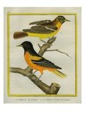 Baltimore Oriole and the Crossbred Baltimore Oriole Reproduction procédé giclée par Georges-Louis Buffon