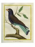 Cuckoo Roller Reproduction procédé giclée par Georges-Louis Buffon