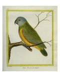 Senegal Parrot Reproduction procédé giclée par Georges-Louis Buffon