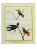 Cayenne Hummingbirds Reproduction procédé giclée par Georges-Louis Buffon