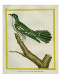 African Emerald Cuckoo Reproduction procédé giclée par Georges-Louis Buffon