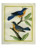 American Robin and the Female Reproduction procédé giclée par Georges-Louis Buffon