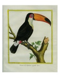 Toucan De Cayenne Reproduction procédé giclée par Georges-Louis Buffon