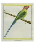 Long-Tailed Parakeet Reproduction procédé giclée par Georges-Louis Buffon