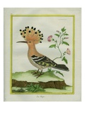 Hoopoe Reproduction procédé giclée par Georges-Louis Buffon