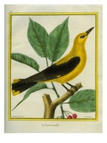 Male South American Yellow Oriole Reproduction procédé giclée par Georges-Louis Buffon